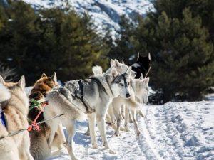 Vous pouvez faire du chien de traineau comme activités en hiver à Serre Chevalier